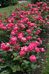 Double Knock Out® Rose (Rosa 'Radtko') at Martin's Home and Garden