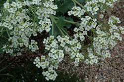 Sea Kale (Crambe maritima) at Martin's Home and Garden