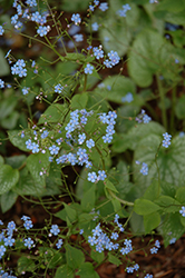 Alexander's Great Bugloss (Brunnera macrophylla 'Alexander's Great') at Martin's Home and Garden