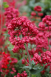 Red Valerian (Centranthus ruber) at Martin's Home & Garden