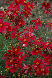 Red Satin Tickseed (Coreopsis 'Red Satin') at Martin's Home & Garden