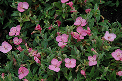 Growing Magenta Dwarf Sundrops (Oenothera 'Glowing Magenta') at Martin's Home & Garden