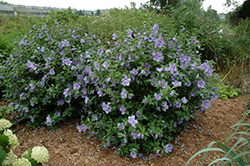 Blue Chiffon® Rose of Sharon (Hibiscus syriacus 'Notwoodthree') at Martin's Home & Garden