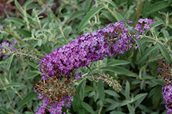 Blue Knight Butterfly Bush (Buddleia 'Blue Knight') at Martin's Home and Garden