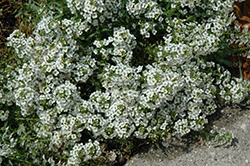 Yolo White Sweet Alyssum (Lobularia maritima 'Yolo White') at Martin's Home and Garden