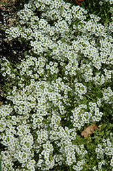 Snow Princess Alyssum (Lobularia 'Snow Princess') at Martin's Home & Garden