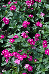 Cora® Purple Eye Vinca (Catharanthus roseus 'Cora Purple Eye') at Martin's Home & Garden