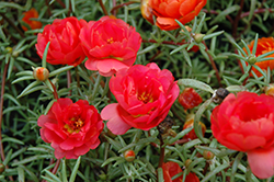 Sundial Red Portulaca (Portulaca grandiflora 'Sundial Red') at Martin's Home and Garden