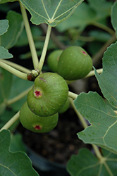 Common Fig (Ficus carica) at Martin's Home and Garden