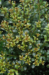 Compact Inkberry Holly (Ilex glabra 'Compacta') at Martin's Home and Garden
