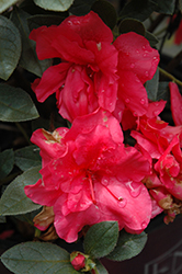 Encore® Autumn Rouge™ Azalea (Rhododendron 'Conlea') at Martin's Home and Garden