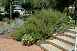 Rosemary (Rosmarinus officinalis) at Martin's Home and Garden