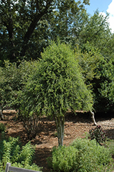 Weeping Yaupon Holly (Ilex vomitoria 'Pendula') at Martin's Home and Garden