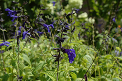 Black And Blue Anise Sage (Salvia guaranitica 'Black And Blue') at Martin's Home and Garden