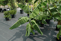 Dwarf Cavendish Banana (Musa 'Dwarf Cavendish') at Martin's Home & Garden