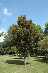 Alta Magnolia (Magnolia grandiflora 'TMGH') at Martin's Home and Garden