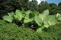 Giant Elephant Ear (Colocasia gigantea) at Martin's Home & Garden
