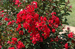 Dynamite Crapemyrtle (Lagerstroemia indica 'Whit II') at Martin's Home and Garden