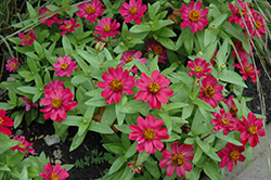 Zahara® Cherry Zinnia (Zinnia 'Zahara Cherry') at Martin's Home and Garden