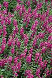 Archangel™ Raspberry Angelonia (Angelonia angustifolia 'Archangel Raspberry') at Martin's Home & Garden