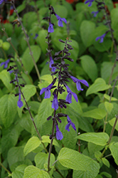 Black And Bloom Sage (Salvia guaranitica 'Black And Bloom') at Martin's Home & Garden