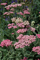 Song Siren Angie Yarrow (Achillea millefolium 'Song Siren Angie') at Martin's Home & Garden