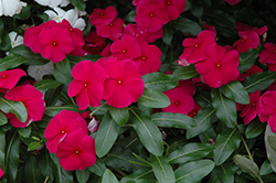 Valiant Burgundy Vinca (Catharanthus roseus 'Valiant Burgundy') at Martin's Home and Garden