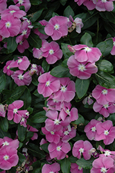 Valiant Orchid Vinca (Catharanthus roseus 'Valiant Orchid') at Martin's Home and Garden