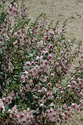 Archangel™ Light Pink Angelonia (Angelonia angustifolia 'Archangel Light Pink') at Martin's Home and Garden