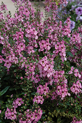 Archangel™ Orchid Pink Angelonia (Angelonia angustifolia 'Archangel Orchid Pink') at Martin's Home and Garden