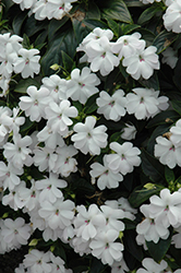 Big Bounce™ White Impatiens (Impatiens 'Balbigite') at Martin's Home & Garden