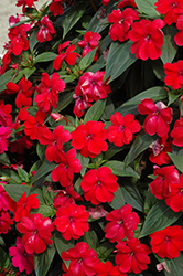 Big Bounce™ Red Impatiens (Impatiens 'Balbiged') at Martin's Home and Garden