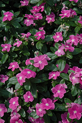 Cora® Deep Lavender Vinca (Catharanthus roseus 'Cora Deep Lavender') at Martin's Home and Garden