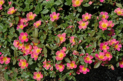 SunDome Pink Portulaca (Portulaca 'SunDome Pink') at Martin's Home and Garden