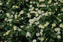 Lucky™ White Lantana (Lantana camara 'Lucky White') at Martin's Home and Garden