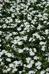 Valiant Pure White Vinca (Catharanthus roseus 'Valiant Pure White') at Martin's Home and Garden