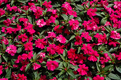 Bounce™ Cherry Impatiens (Impatiens 'Balboucher') at Martin's Home and Garden