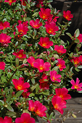 SunDome Red Portulaca (Portulaca 'SunDome Red') at Martin's Home & Garden