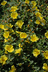 SunDome Yellow Portulaca (Portulaca 'SunDome Yellow') at Martin's Home and Garden
