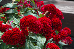Twisted Celosia (Celosia cristata 'Twisted') at Martin's Home and Garden