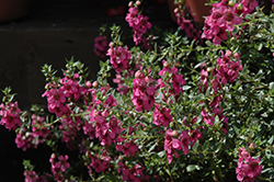 Alonia Big Dark Pink Angelonia (Angelonia angustifolia 'Alonia Big Dark Pink') at Martin's Home and Garden