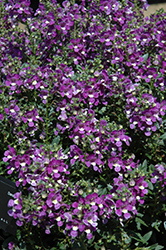 Alonia Big Violet Angelonia (Angelonia angustifolia 'Alonia Big Violet') at Martin's Home and Garden