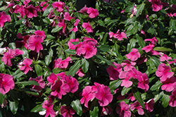 Valiant Lilac Vinca (Catharanthus roseus 'Valiant Lilac') at Martin's Home & Garden