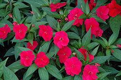 Divine™ Cherry Red New Guinea Impatiens (Impatiens hawkeri 'Divine Cherry Red') at Martin's Home & Garden