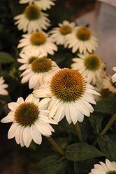 Snow Bomb Coneflower (Echinacea 'Pow Wow White') at Martin's Home and Garden
