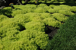 Lemon Ball Stonecrop (Sedum rupestre 'Lemon Ball') at Martin's Home & Garden