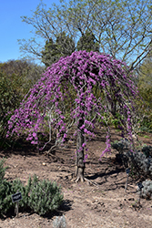Lavender Twist Redbud (Cercis canadensis 'Covey') at Martin's Home and Garden