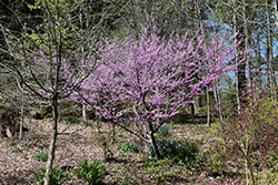Hearts of Gold Redbud (Cercis canadensis 'Hearts of Gold') at Martin's Home and Garden