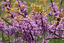 The Rising Sun Redbud (Cercis canadensis 'The Rising Sun') at Martin's Home and Garden