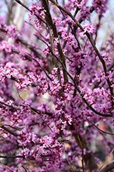 Ace Of Hearts Redbud (Cercis canadensis 'Ace Of Hearts') at Martin's Home & Garden